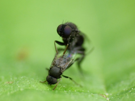 Flies mating