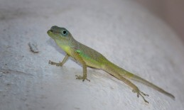 Anolis lizard checking out the new guests in our hotel in Barbados.