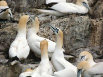 Thousands of gannets nest on Bass Rock, an island in the Firth of Forth, Scotland.
