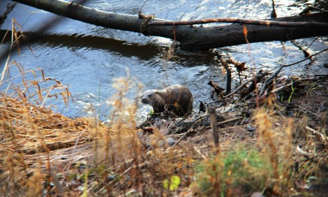 Bonus picture #2: taken today, an otter exits the river right outside my flat!