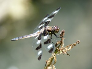 A dragonfly takes a breather by the river in High Park, Toronto.