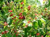 Long-horned beetle feasting on red berries in High Park, Toronto.