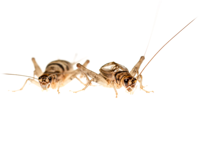 New paper: Food supply – not 'live fast, die young' mentality – makes male crickets chirpy