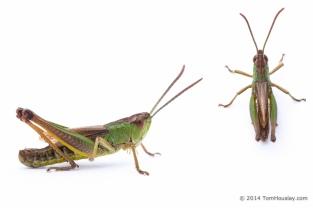 Grasshopper_spp_green