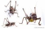 Pholidoptera_griseoaptera-male