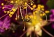 Sweat_bee-Lasioglossum_(dialictus)