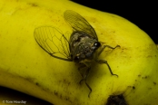 Cicada : banana interface