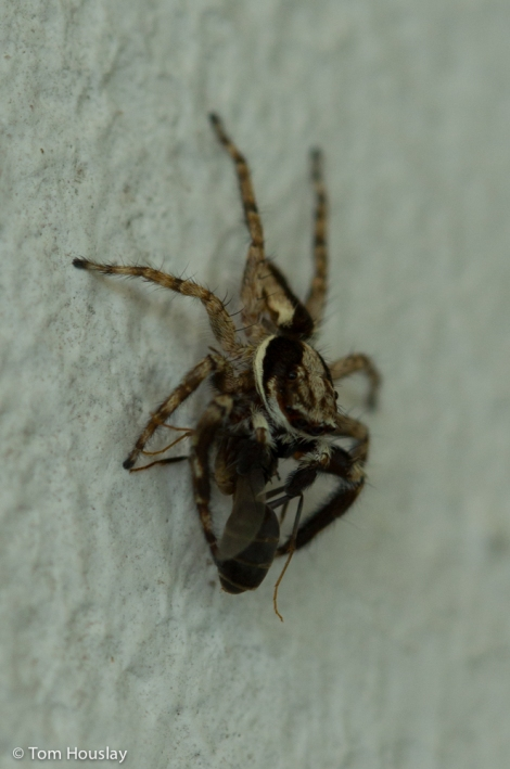 Tiny jumping spider eating a wasp.