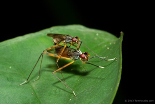 Some dancing, mating flies.