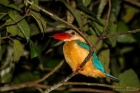 Stork-billed kingfisher.