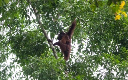 A female orang utan and baby swing through the trees in Danum Valley, Borneo.