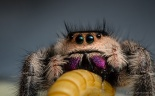 My new pet Phidippus regius jumping spider, named Boadicea.
