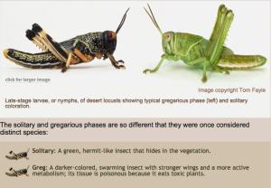 locust1