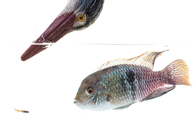 New paper: Testing the stability of behavioural coping style across stress contexts in the Trinidadian guppy